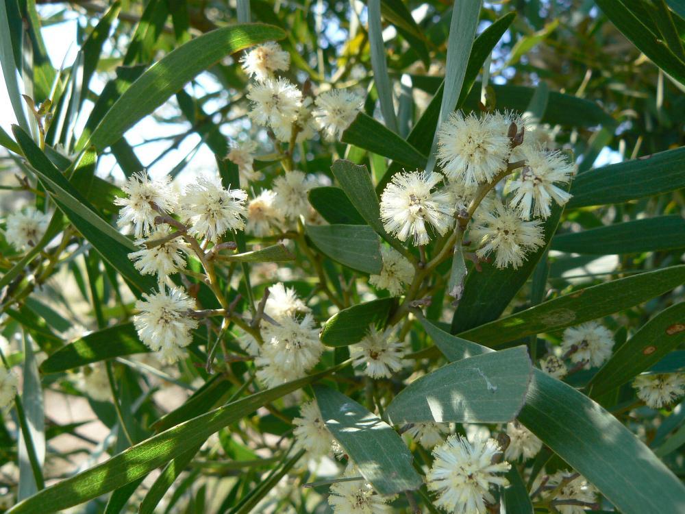 Blackwood Acacia Melanoxylon Knysna Wood Workersknysna