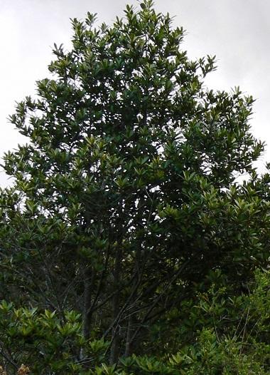 Cape Beech Rapanea Melanophloeos Knysna Woodworkers