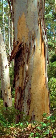 Karri Gum Eucalyptus Diversicolor Knysna Woodworkers